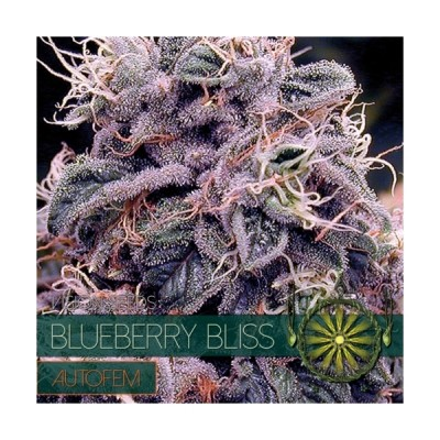 BLUEBERRY BLISS 3 AUTO...