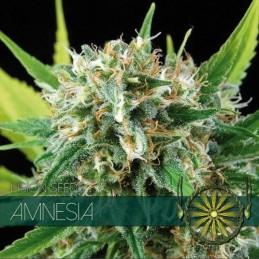 Amnesia FEM 5 Seeds – Vision