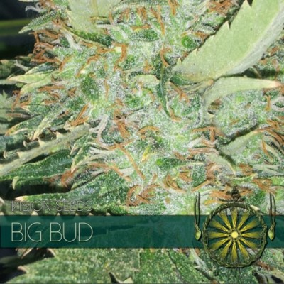 Big Bud FEM 3 Seeds – Vision