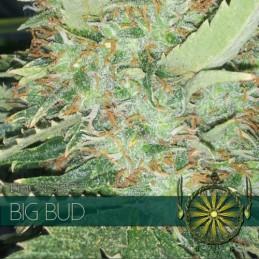 BIG BUD 5 FEM SEEDS – VISION