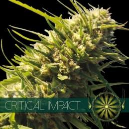 Critical Impact FEM 3 Seeds...