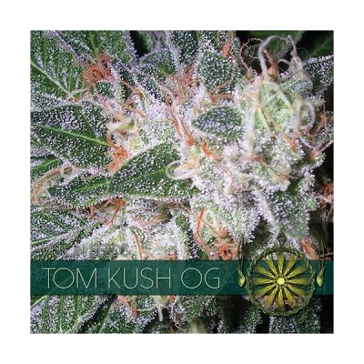 Tom Kush FEM 3 Seeds – Vision