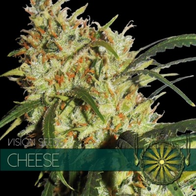 CHEESE 5 FEM SEEDS – VISION